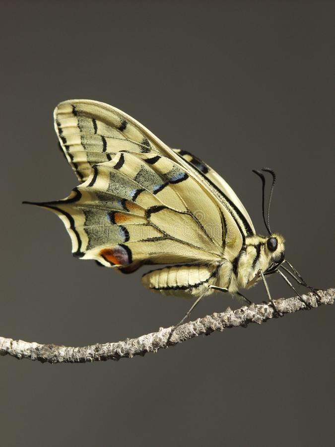 Free Butterfly Stock Images - 18715294