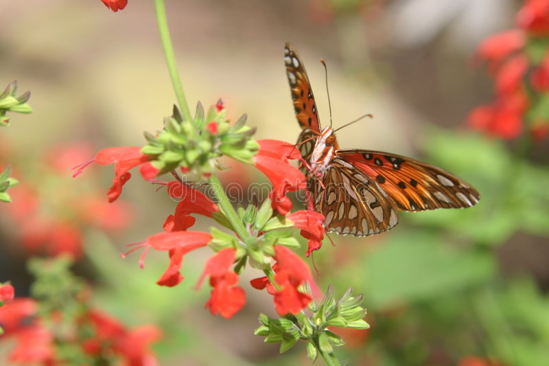 Butterfly. On red flower. Soft focus. Picture taken at Hershey Gardens royalty free stock image