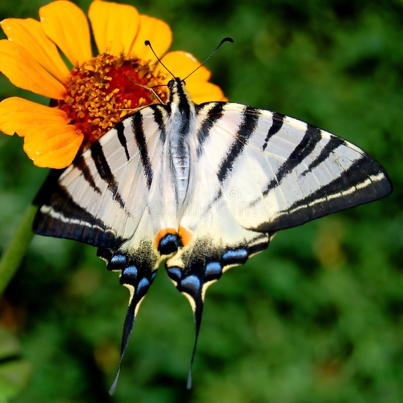 Butterfly. Beautiful butterfly gathers nectar from a flower stock photo