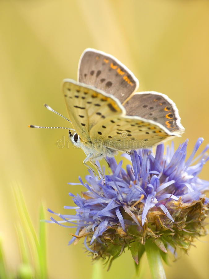 Free Butterfly 2 Royalty Free Stock Photography - 11050377