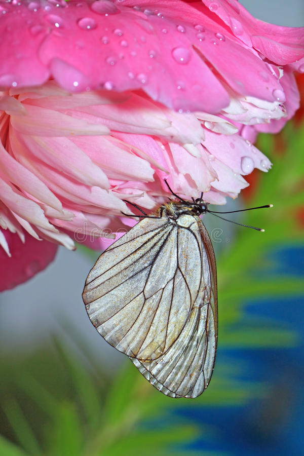 Download Butterfly stock photo. Image of drop, beauty, front, nature - 26794886