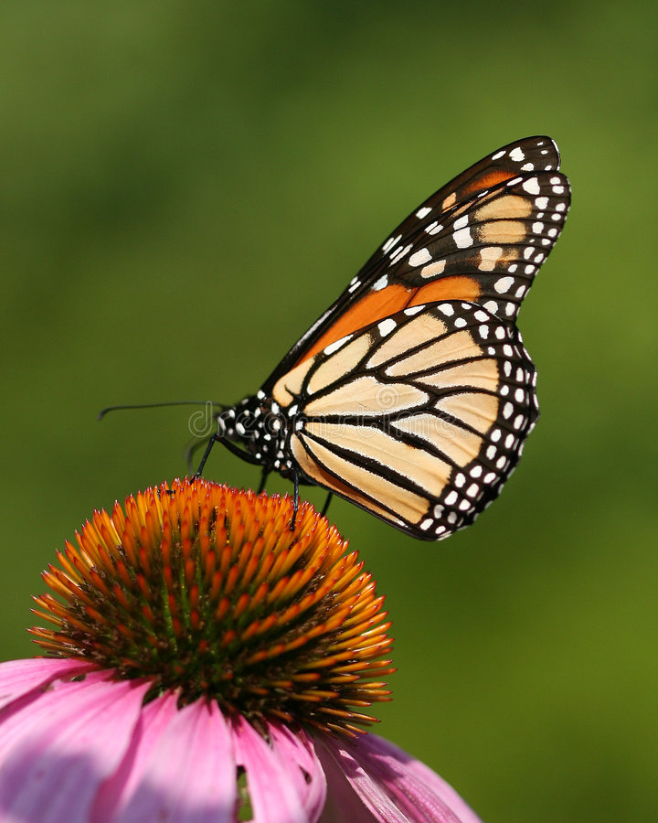 Download Butterfly stock image. Image of closeup, botanical, purpurea - 3062579