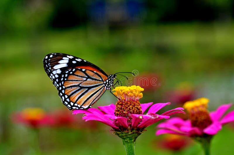 butterfly2 fotografía de archivo libre de regalías