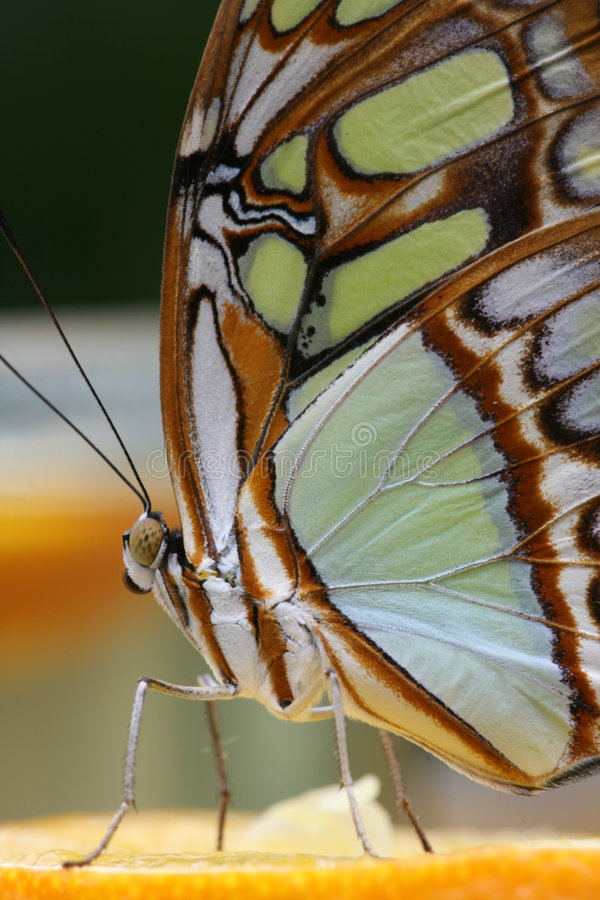 Free Butterfly 5 Stock Image - 361361