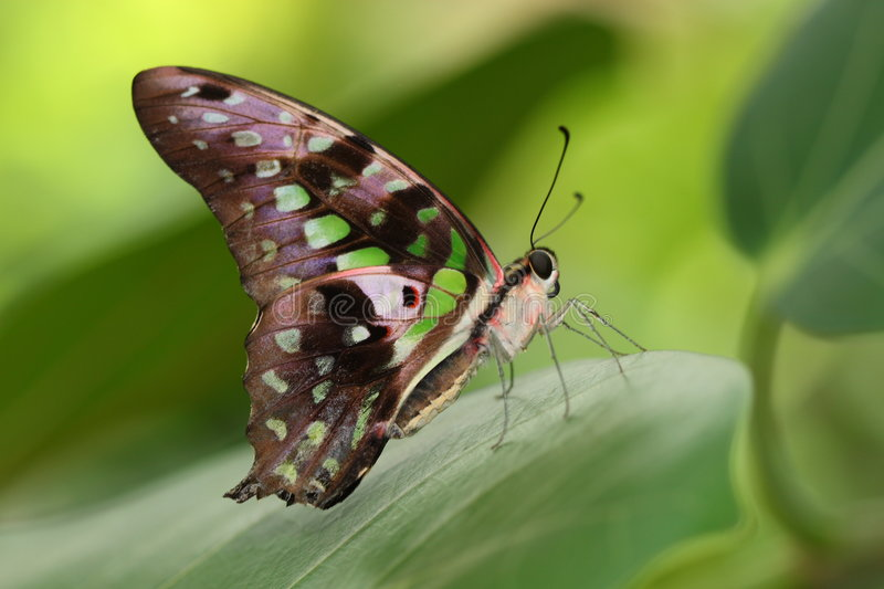 Butterfly. Beautiful butterfly stay on a green leaf