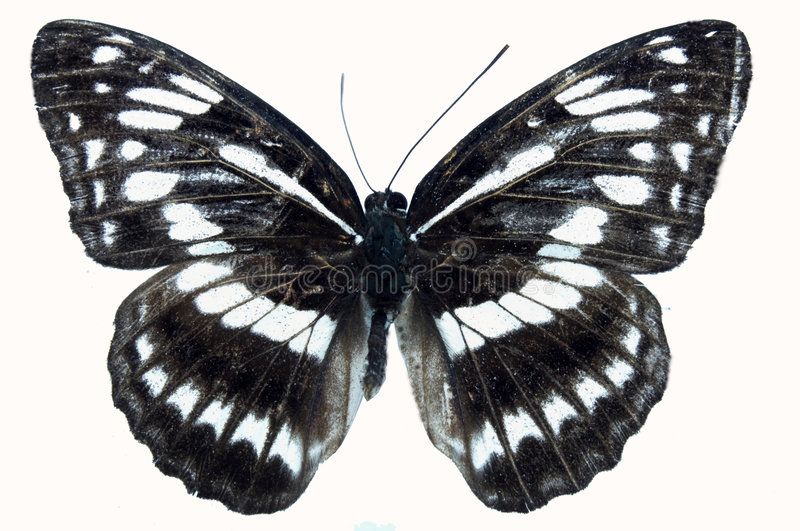 Butterfly. Black butterfly in specimen box,papilio bianor,arthropoda insect lepidoptera papilionidae major range in China least concern stock image