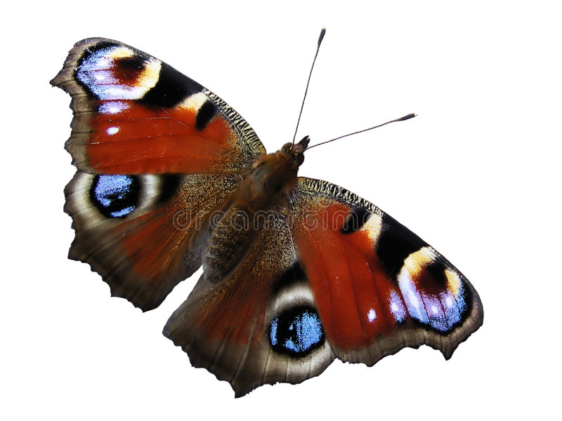 Butterfly. Separated butterfly on white background stock photography
