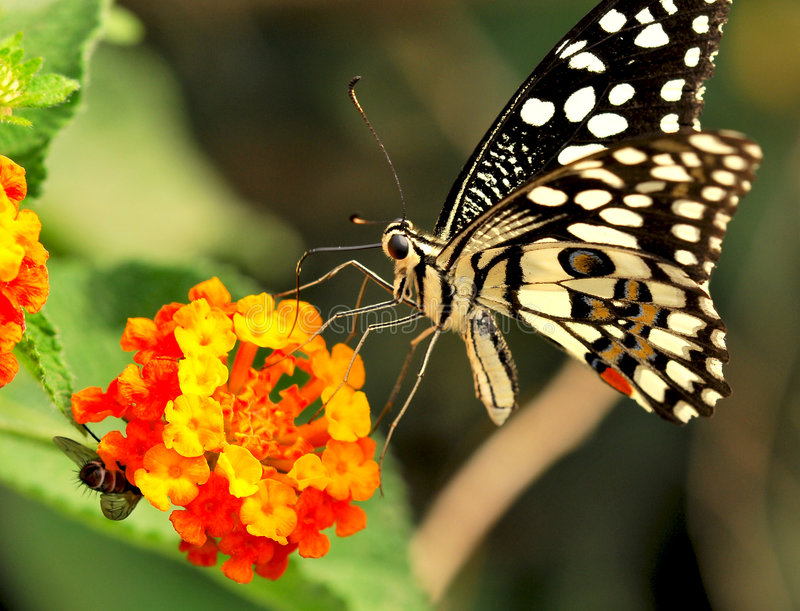 Butterfly. Sucking nector from orange flower royalty free stock image
