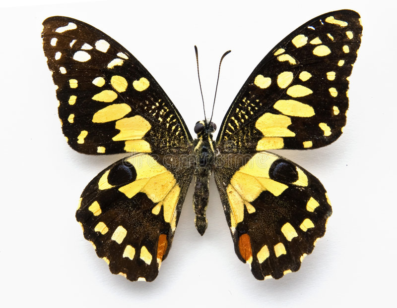 Butterfly. Lime butterfly (papilo demoles) on white royalty free stock images