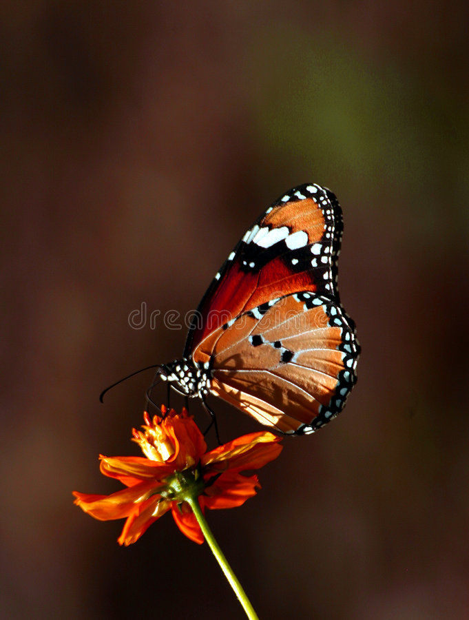 Download Butterfly stock photo. Image of over, monarch, close, spots - 816384