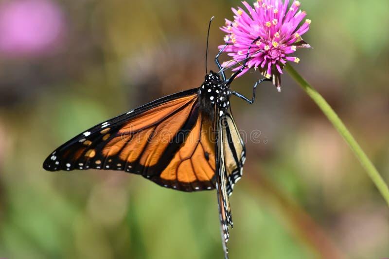 Butterfly2 fotos de archivo libres de regalías