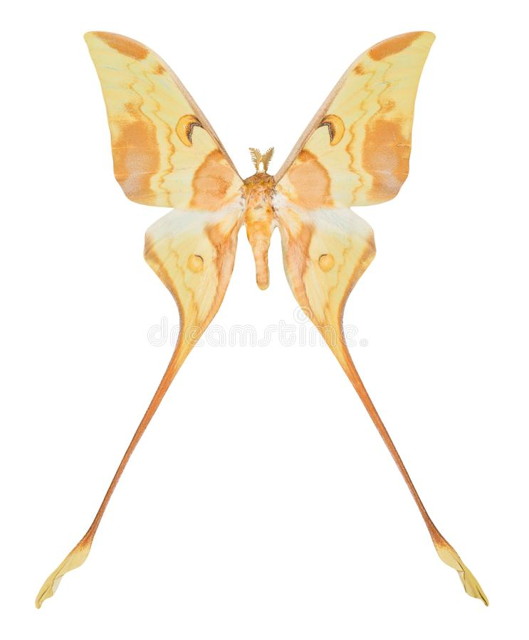 Butterfly Actias maenas isolated on white background.  stock photography