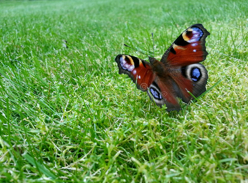 Butterfly (Aglais io) stock photography