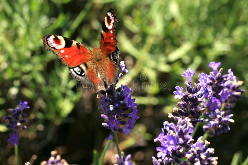 Butterfly Aglais io on flower, macro. stock photo