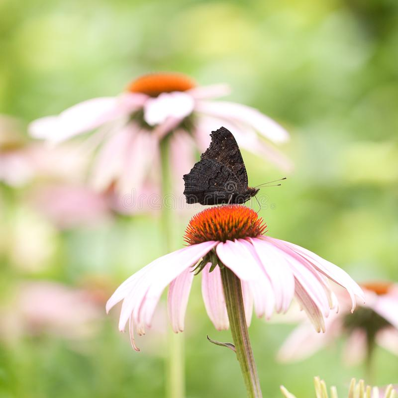 Butterfly aglais io sits on a pink flower of echinacea stock image