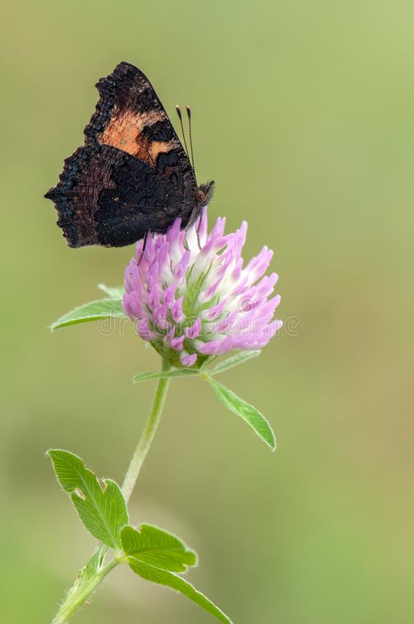 Butterfly Aglais urticae sit on a forest clover flower on a morning. Butterfly Aglais urticae sit on a forest clover flower on a summer morning royalty free stock photo