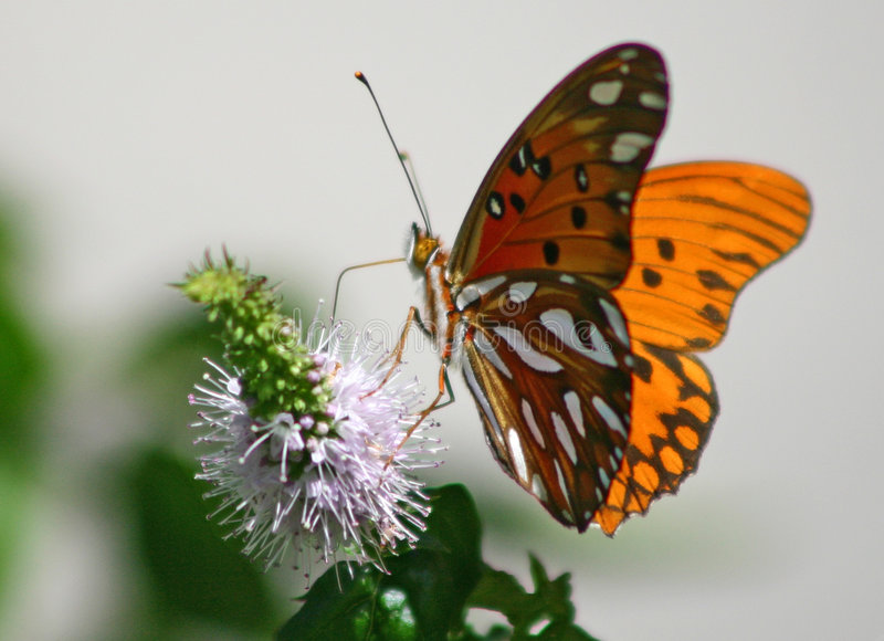 Butterfly (Agraulis Vanillae) royalty free stock photography