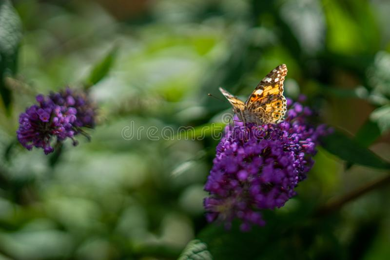 Butterfly on Anise Hyssop Flowers royalty free stock photo