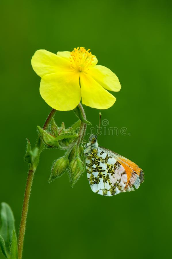 Butterfly Anthocharis cardamines on a yellow flower. On a summer day royalty free stock photos