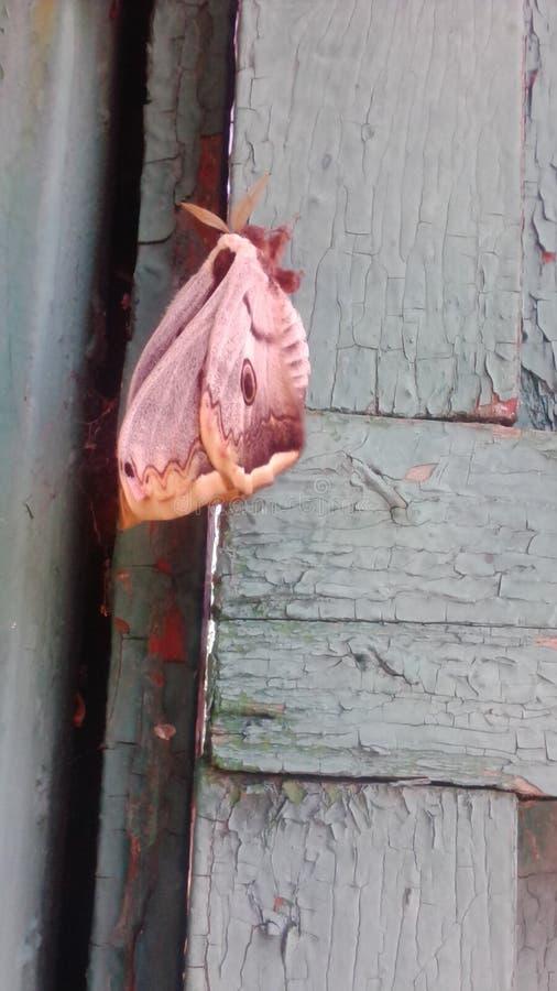 Butterfly Apollon stock photos