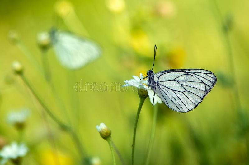 The butterfly Aporia crataegi covered with dew sits on a daisy flower. The butterfly Aporia crataegi covered with dew sits on a summer morning on a daisy flower royalty free stock photos
