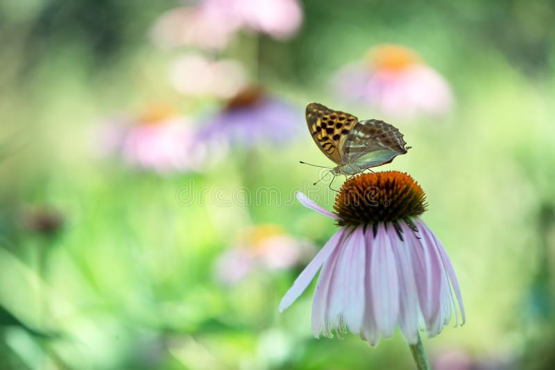 Butterfly Argynnis paphia collects nectar from an echinacea flower on a summer day stock images