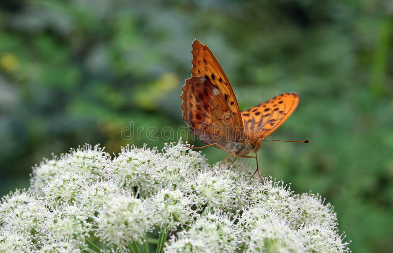 Butterfly Argynnis paphia royalty free stock photography