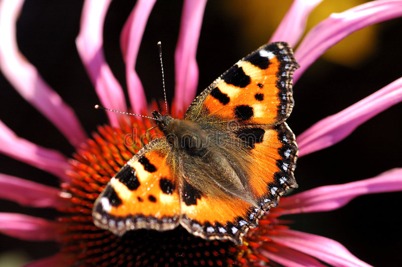 Butterfly on autumn flower royalty free stock images
