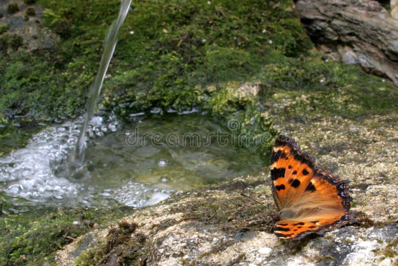 Butterfly with babbling water. Butterfly Nymphalis xanthomelas near a bubbling water on mossy rock royalty free stock photo