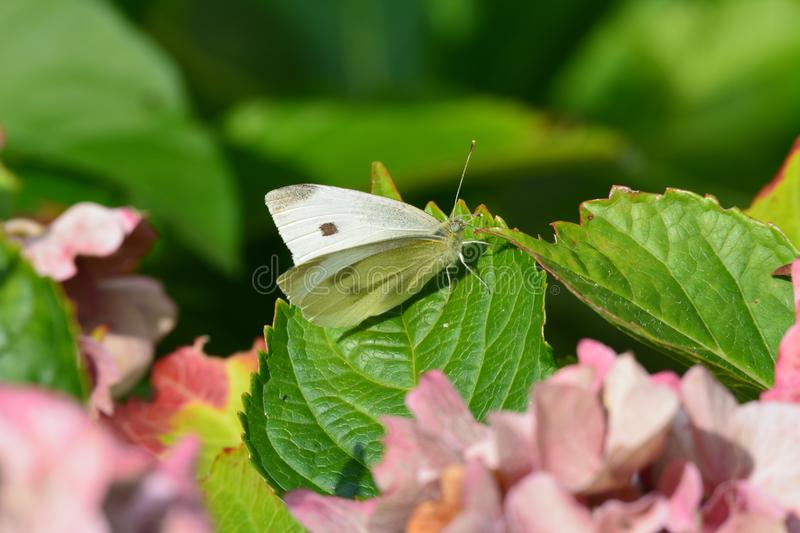 Butterfly. Beautiful butterfly in our garden in the Netherlands royalty free stock photography