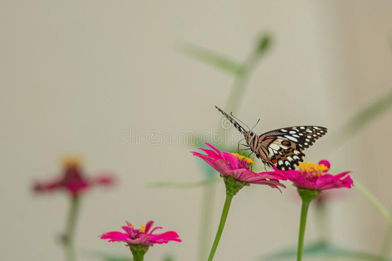 A butterfly sucking nectar. A Beautiful butterfly sucking nectar stock images