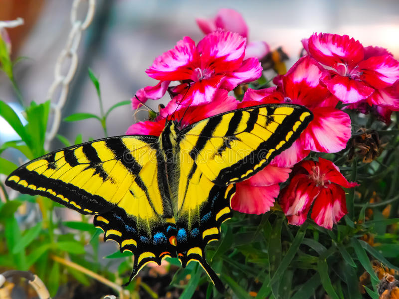 Butterfly. Beautiful tiger swallowtail feeding on flowers