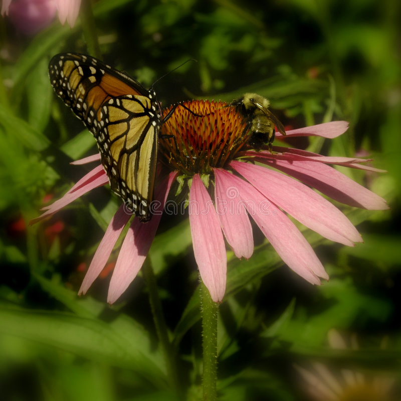 Download Butterfly & Bee On Pink Flower Stock Image - Image: 3035599