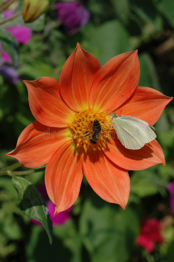 Download Butterfly And Bee Pollinate A Flower Stock Photo - Image of dahlia, orange: 9630668