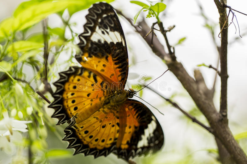 Butterfly with Black-Orange Wings royalty free stock photo