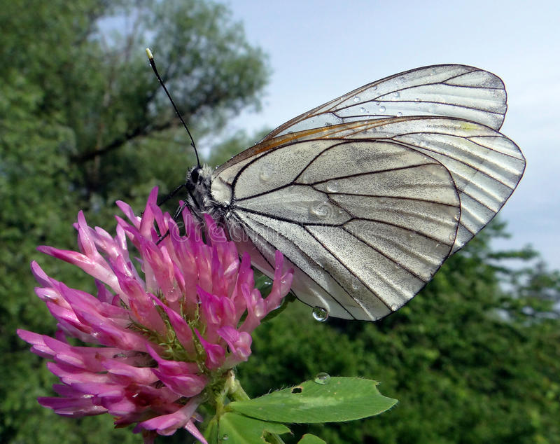 Butterfly black-veined white royalty free stock photo