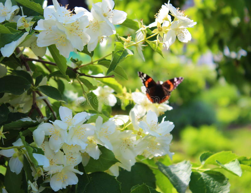 Butterfly on blooming jasmine bush. Admiral butterfly on blooming jasmine bush royalty free stock photography