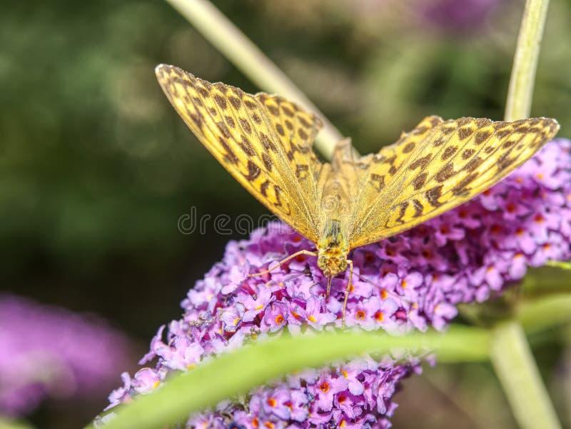 Butterfly on blooming purple butterfly bush. Little pink-purple flowers stock image