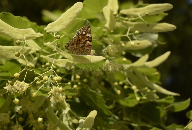 Vanessa cardui, painted lady butterfly on linden flowers closeup. A butterfly on a blossoming linden tree flower. Vanessa cardui, painted lady butterfly on stock photos