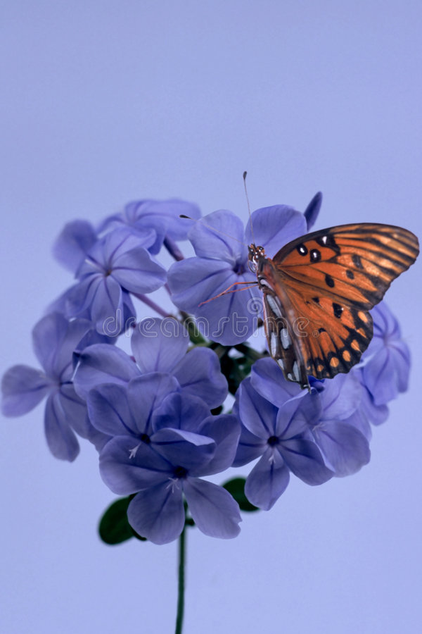 Butterfly on Blosson stock photography
