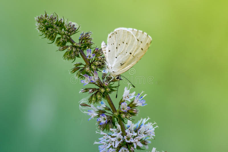 Butterfly on a branch of mint stock image