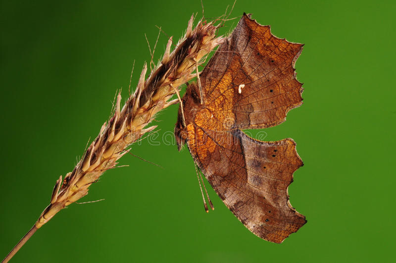 Download BUTTERFLY ON BRANCH,  Polygonia C-aureum Royalty Free Stock Photo - Image: 35146225