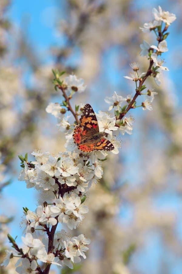 Butterfly on a branch of sakura tree. Butterfly on a branch of sakura stock image