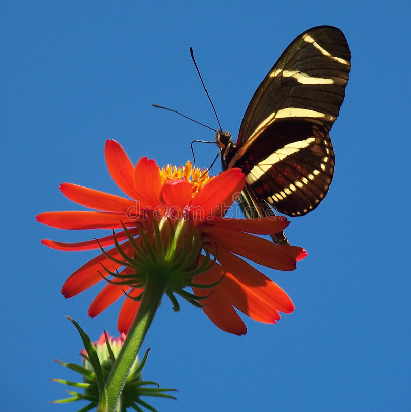 Butterfly on bright red flower stock image