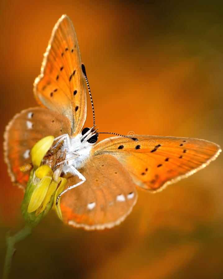 Download Butterfly With Bright Wings Stock Photo - Image: 15383720