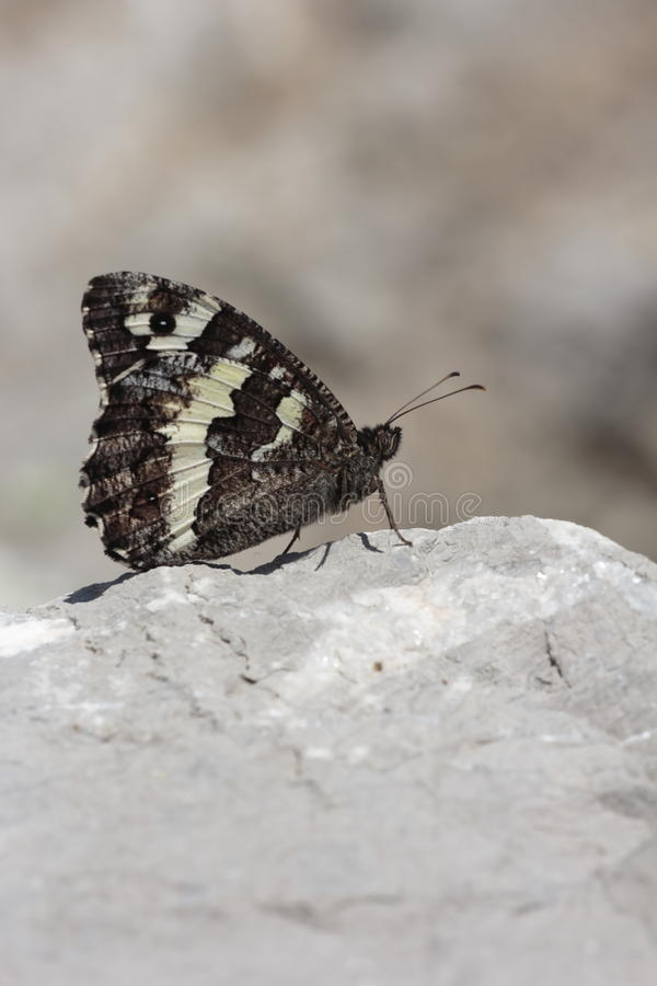 Download Butterfly  Brintesia In Camargue Stock Image - Image: 32144619