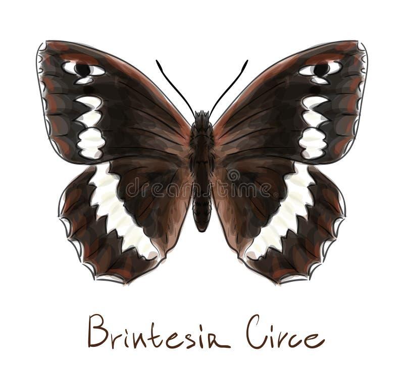 Download Butterfly Brintesia Circe. stock illustration. Illustration of bright - 25619184