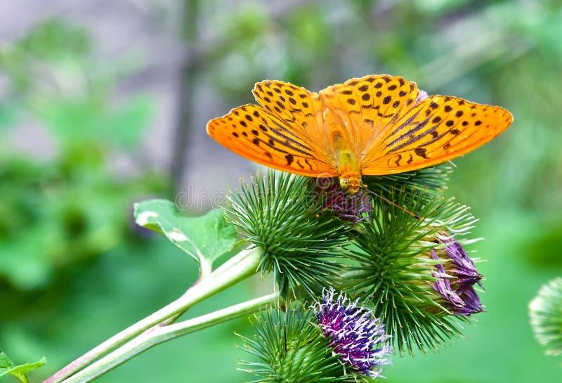 A Butterfly on a Burdock Plant stock photos