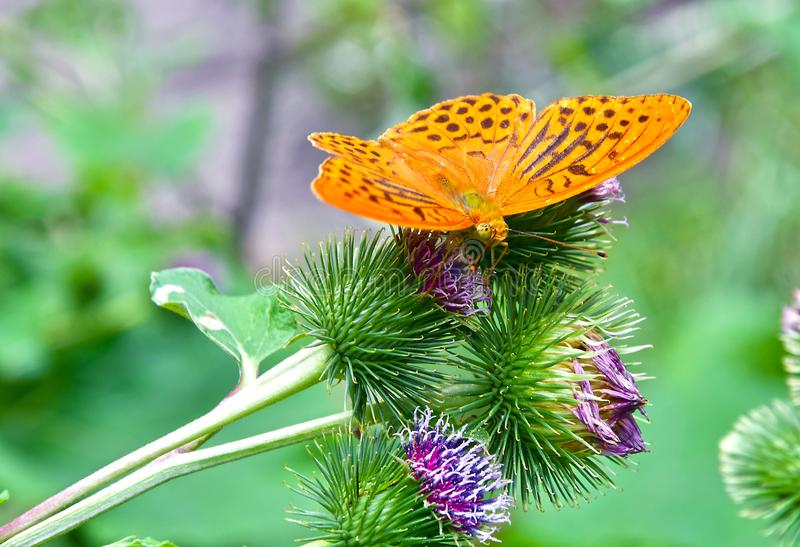 A Butterfly on a Burdock Plant royalty free stock photo