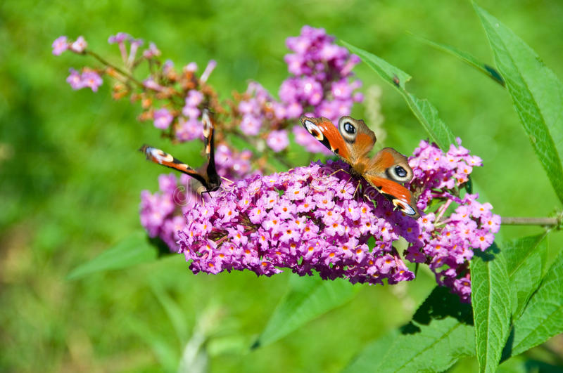 Butterfly-bush. With two Peacock royalty free stock photos